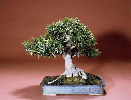 Willow Leaf Fig Ann Erb Bonsai Club Of Santa Barbara