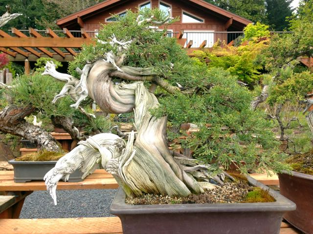 One of many amazing Ryan Neil's bonsai specimens